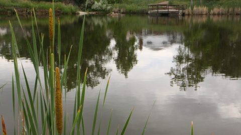 Cattails in water. Photo: Wendy Petty