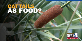 FOOD | CATTAILS, THE GROCERY STORE OF THE WILD