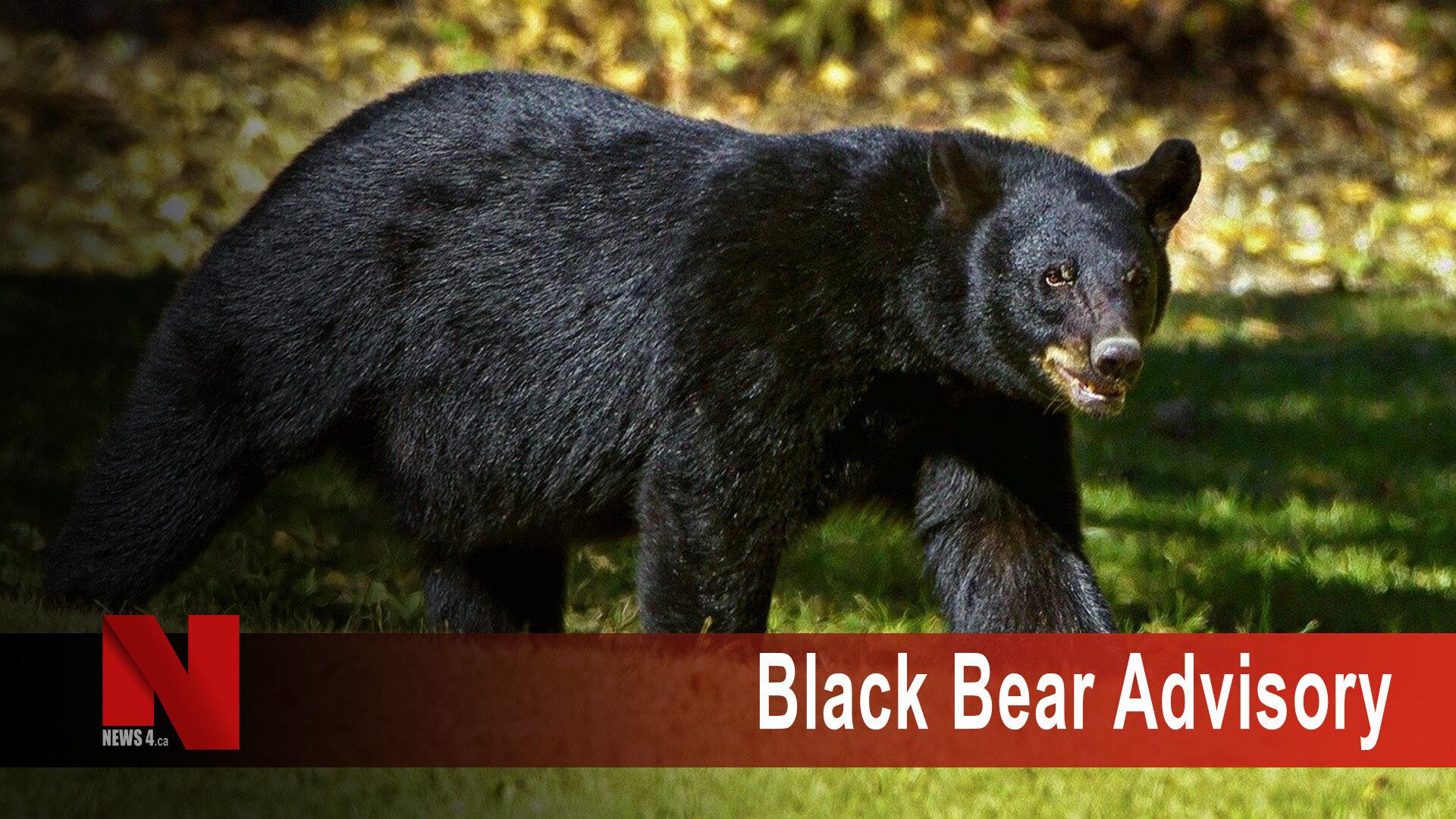black bear advisory